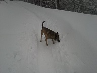 reševalni pes Kori